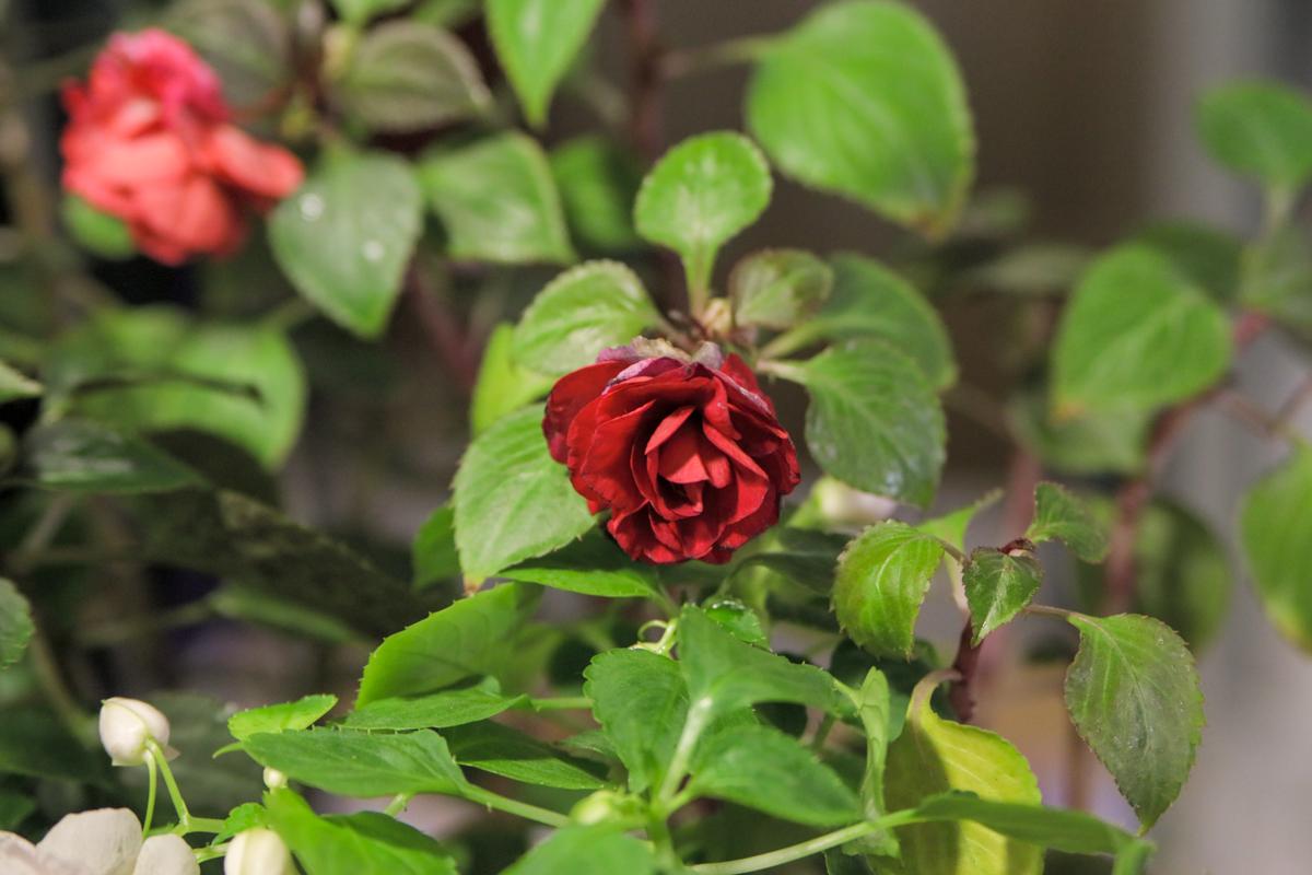 Красные розы привлекали внимание своей изысканностью