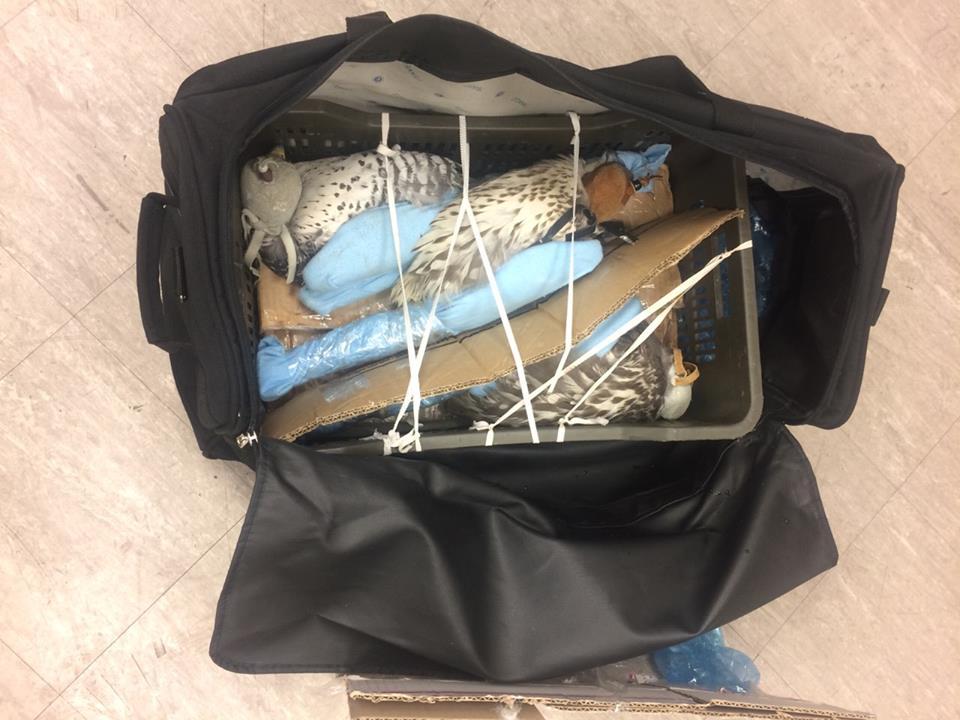 Через аэропорт «Борисполь» пытались нелегально вывезти из Украинского государства живых соколов