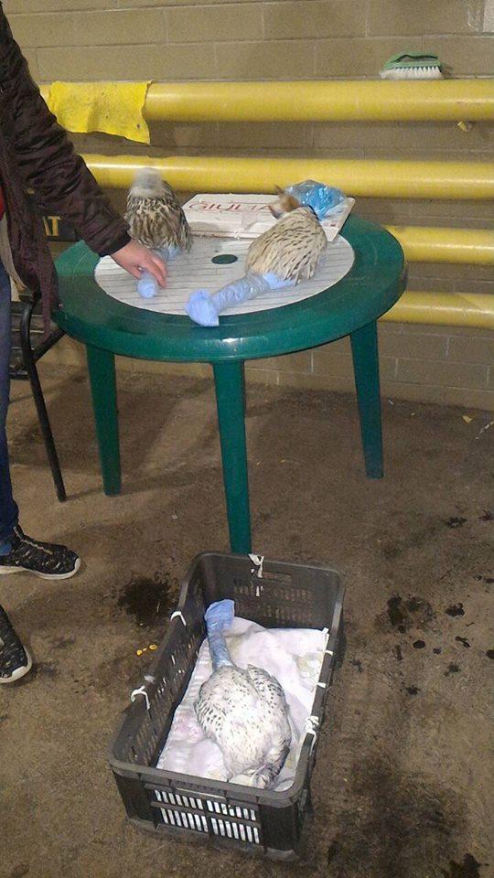 Спасенных соколов передадут в реабилитационный центр для хищных птиц «Сапсан» Национального природного парка «Синевир»