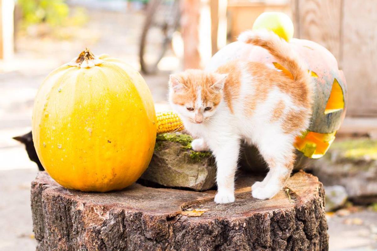В городке котов даже праздновали Хэлоуин