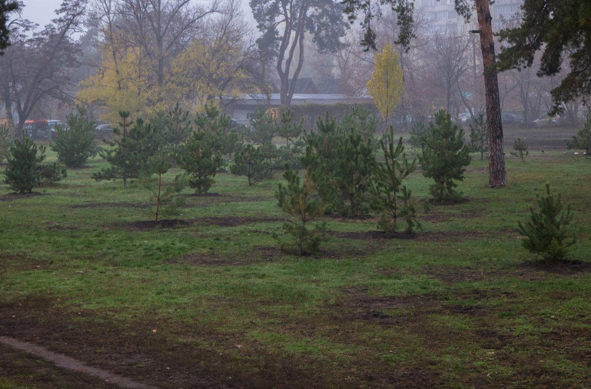 Парк украсили молодыми елями