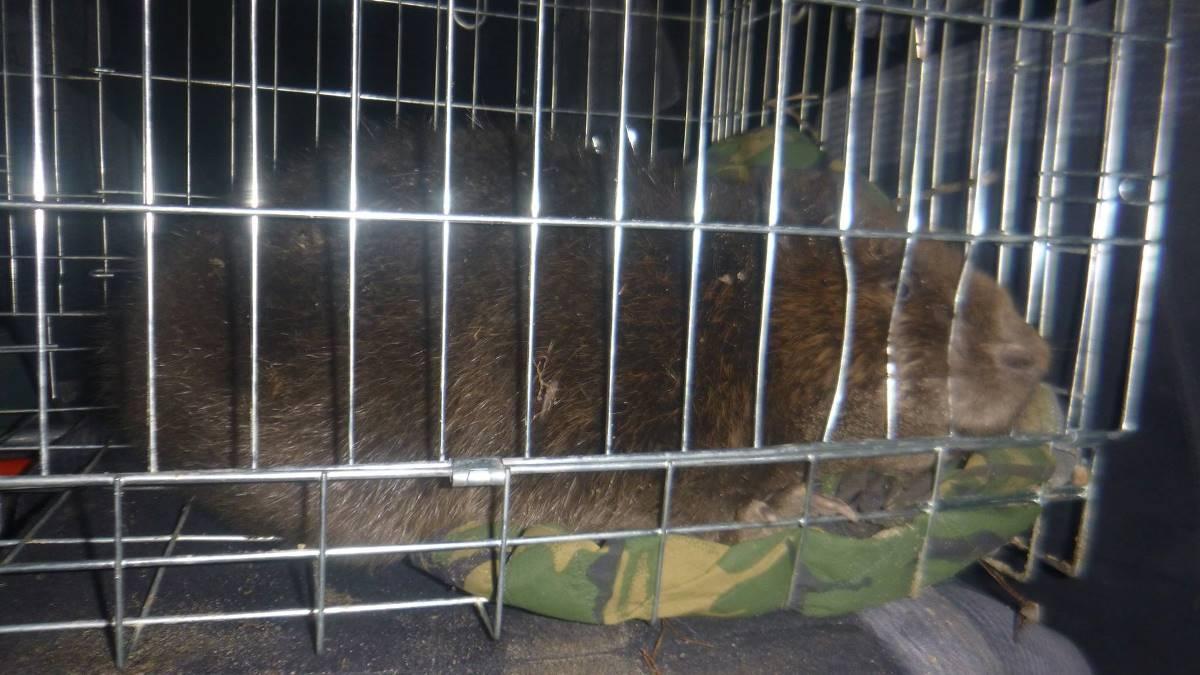 Несмотря на отчаянную борьбу за жизнь животного, бобер скончался