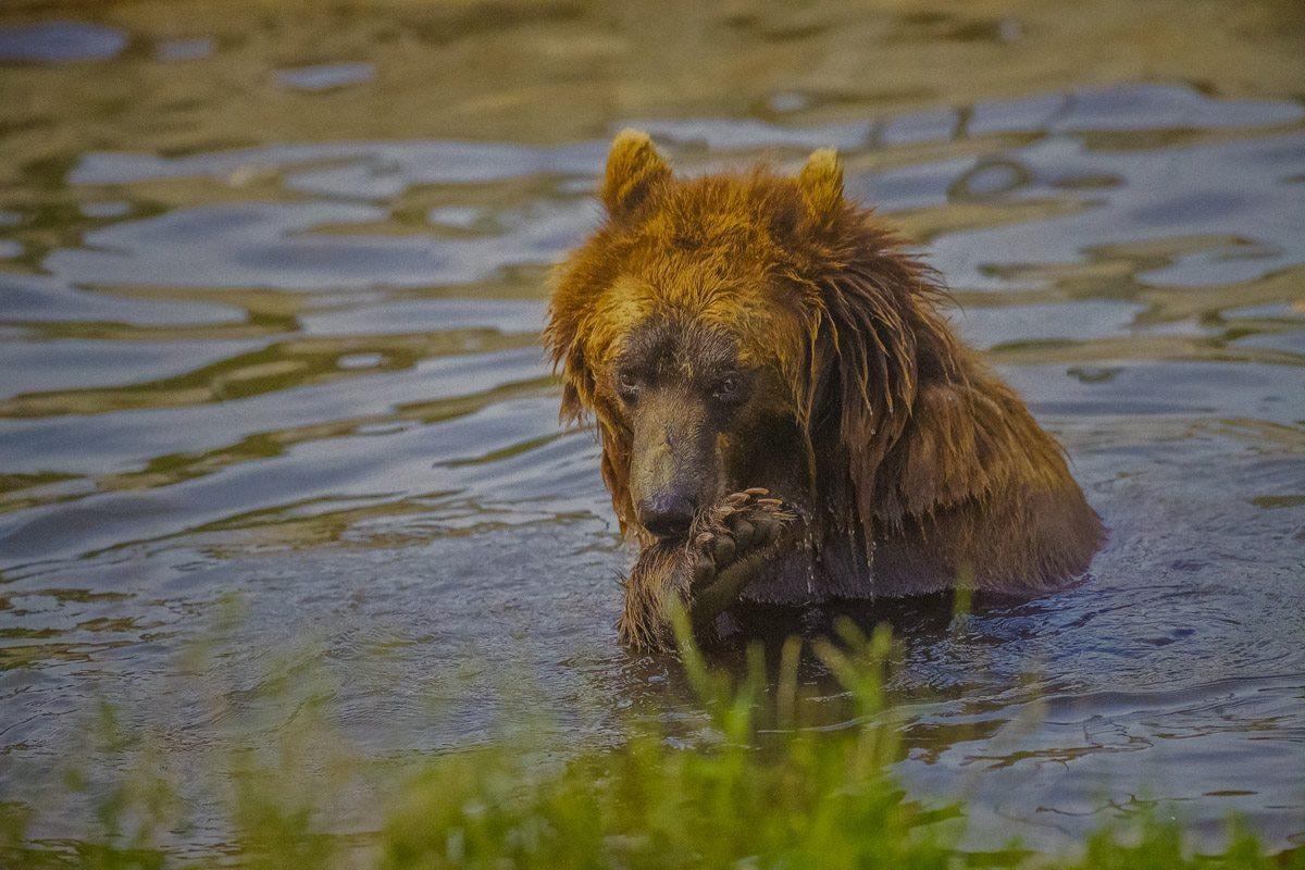 Собранные средства будут направлены на помощь медведям, пострадавшим от жестокого обращения