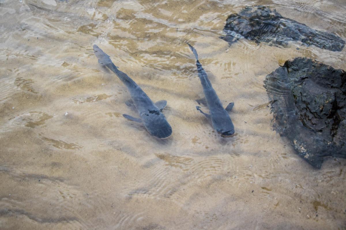 В столичную реку выпустили поколение растительноядных рыб