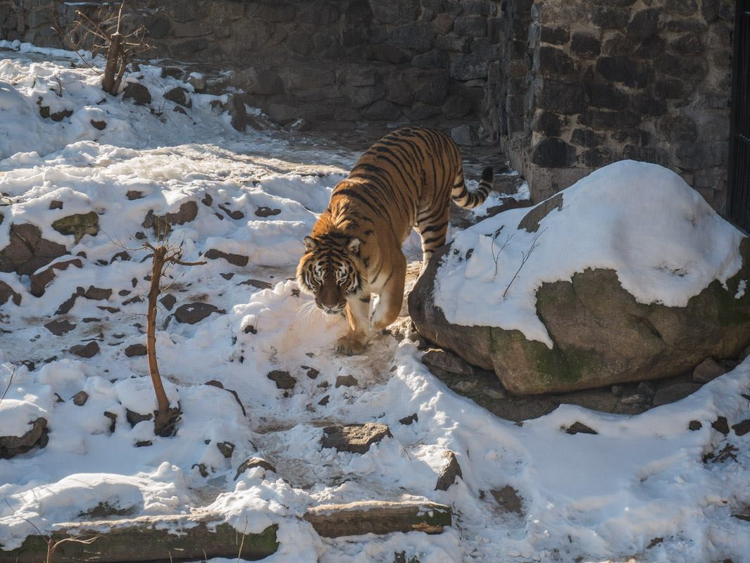 Рядом с вольером для львов проживает харизматичный тигр