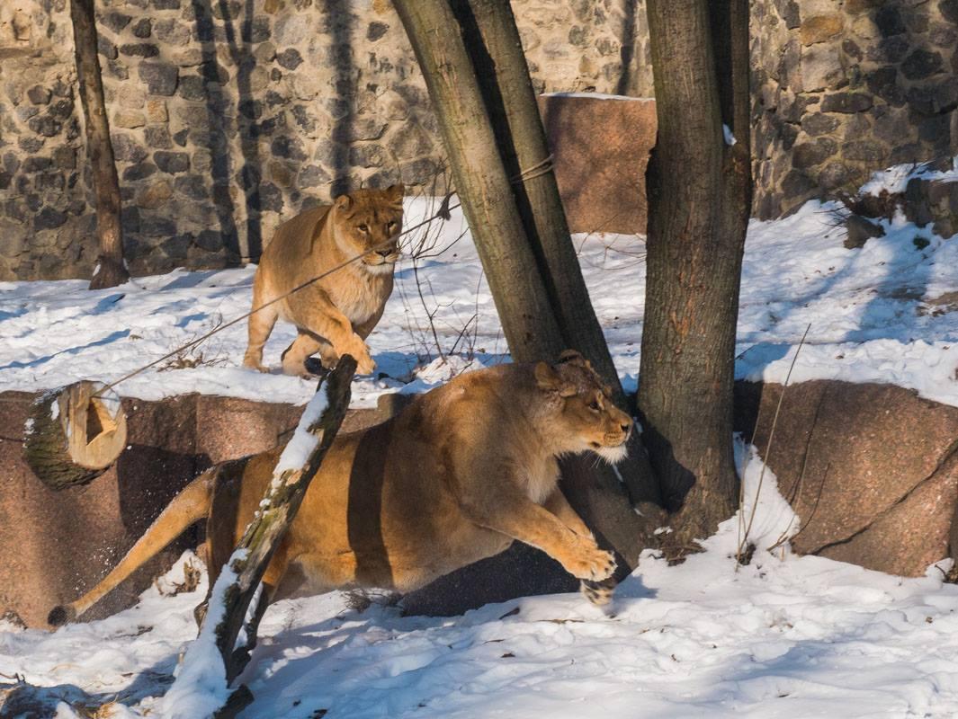 Львицы не только искали еду, но и сражались за нее
