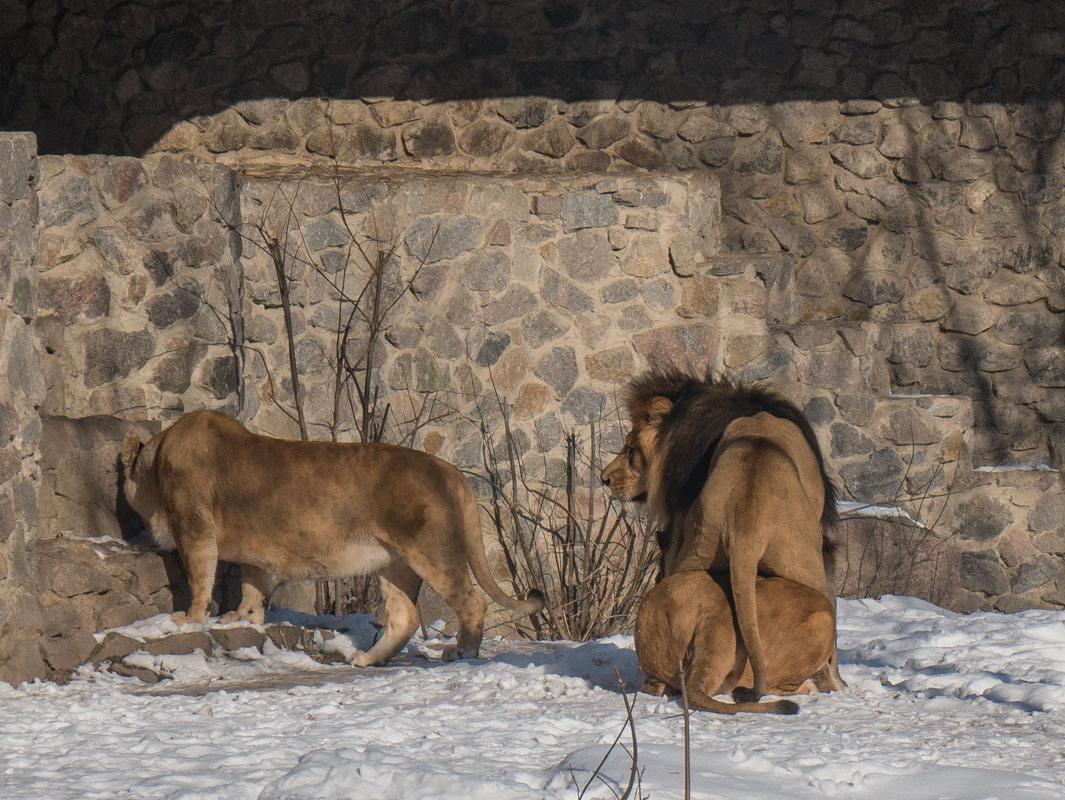 Несмотря на стерилизацию лев не оставляет надежд