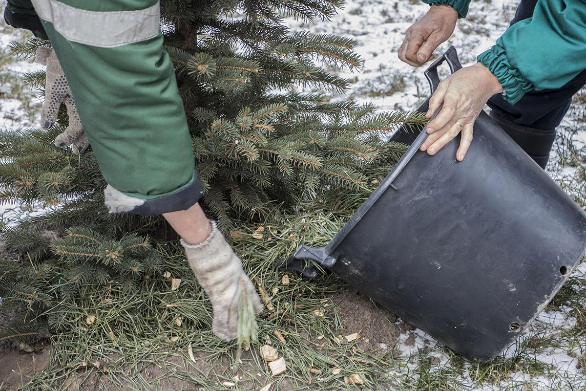 Потом этой мульчей удобряют живые елки