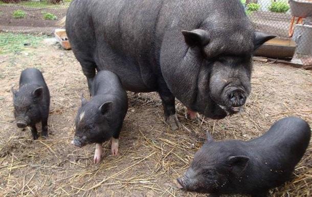 В Николаевской области свиньи съели своего хозяина