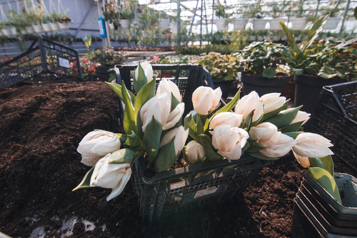 На сегодняшний день уже зацвели 70 тысяч тюльпанов