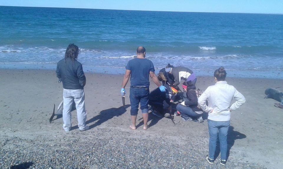 В Аргентине 68 дельфинов выплыло на берег