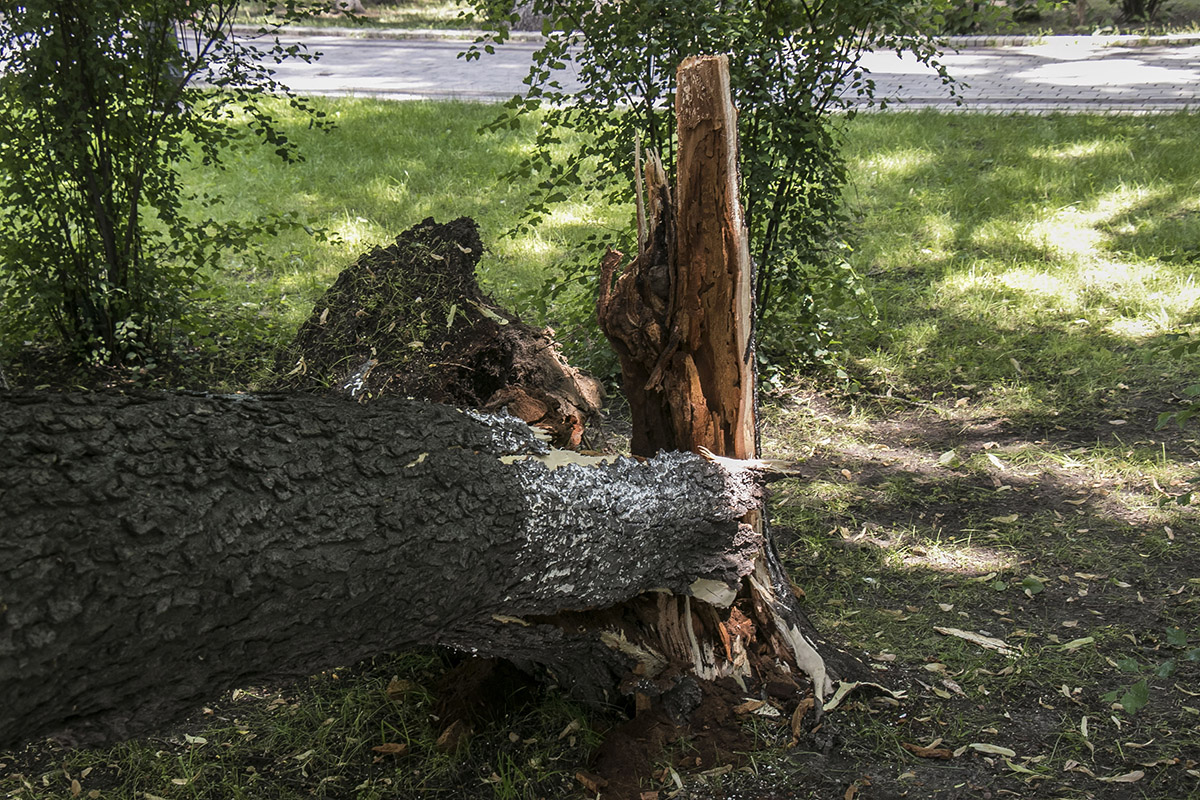 Дерево упало внезапно
