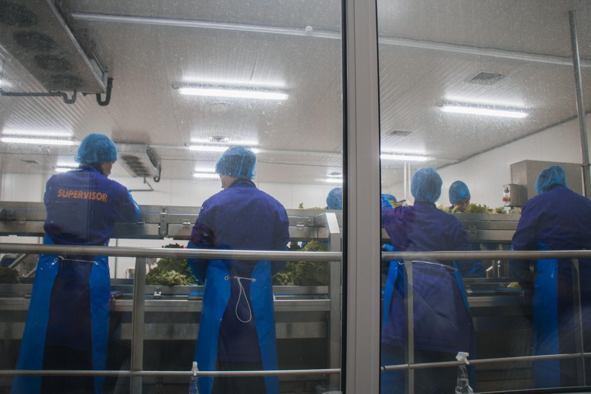Срок хранения салата Батавия – 7 дней