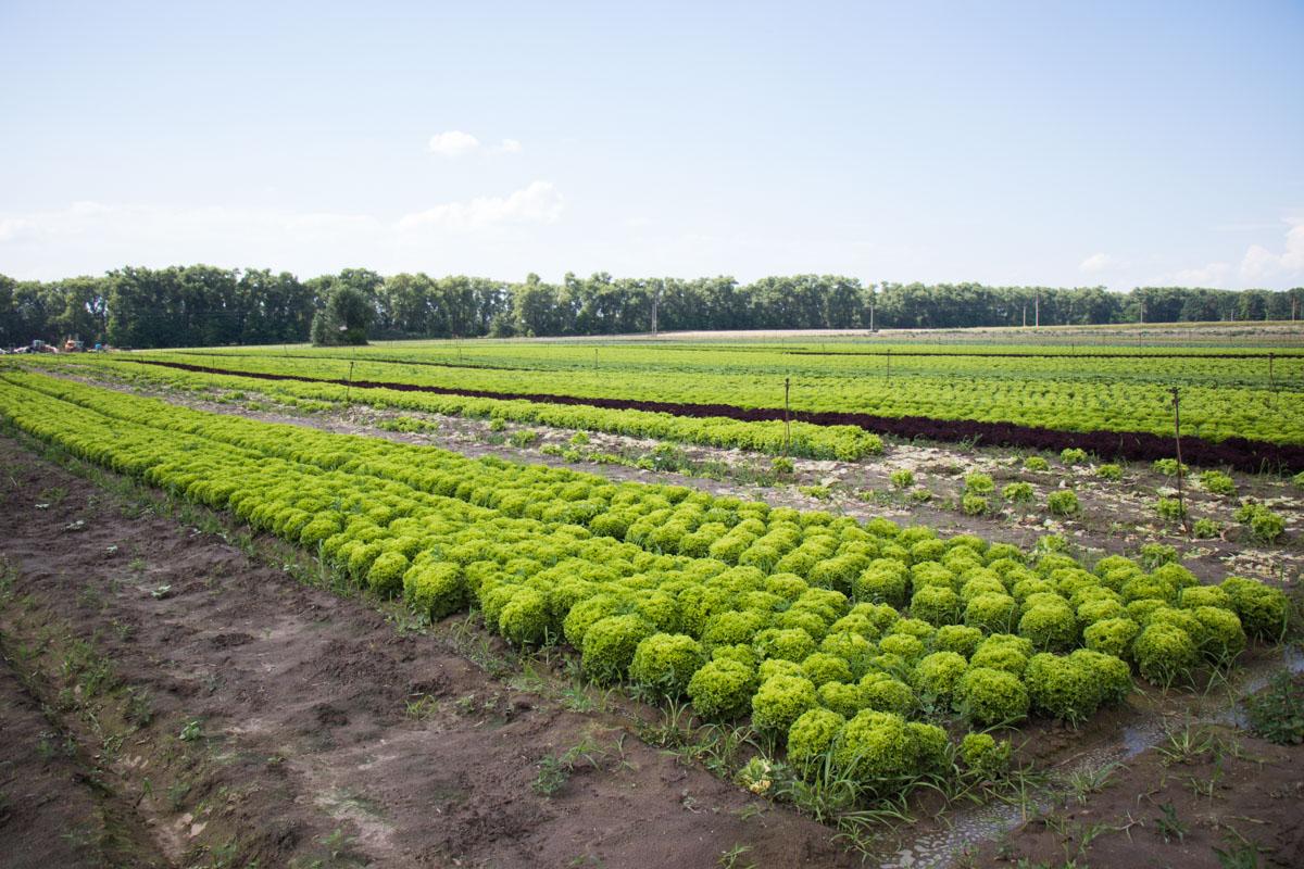 Информатор побывал на ферме, где выращивают разные виды салата для блюд McDonald's