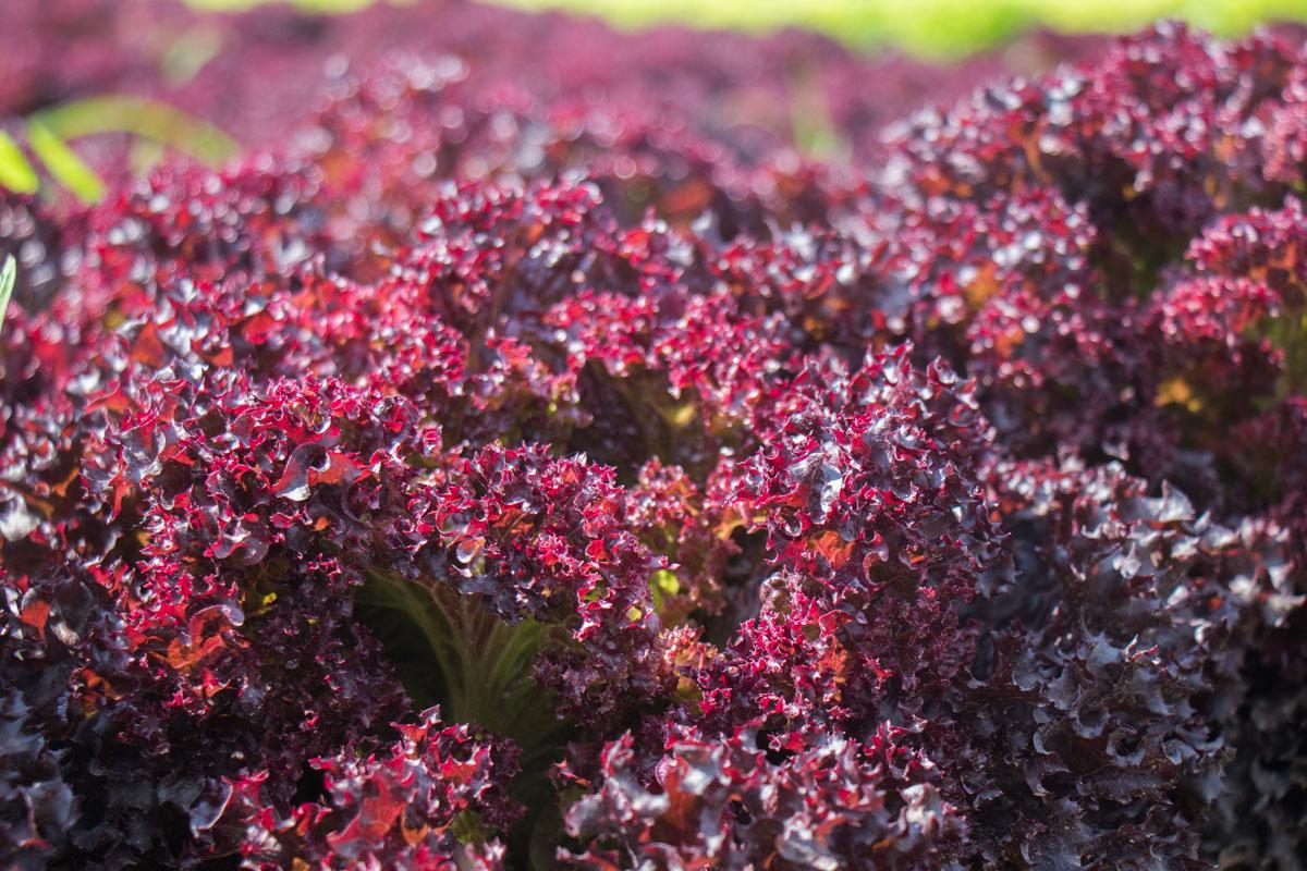 В масштабах 50 гектаров выращивают и собирают листья салата