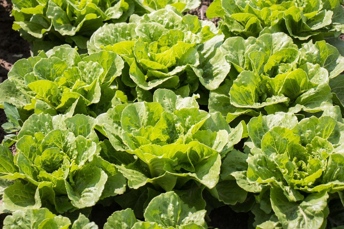 Грунт регулярно удобряют, плоды поливают, потому салат выглядит, как на картинке - сочный и красивый