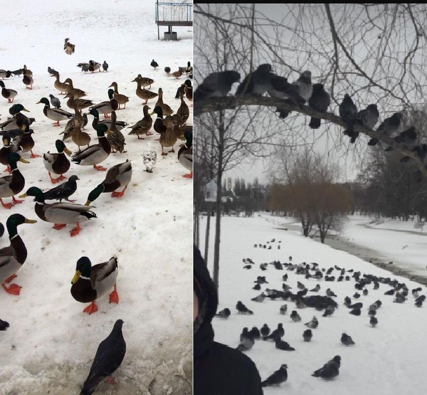 Фотографии местных жителей. Птица много лет живет на озере. Сейчас же там есть всего несколько особей, и одни самки