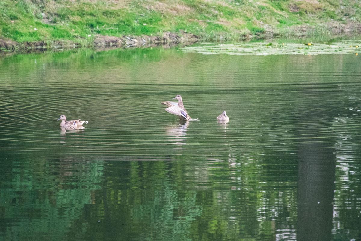 Плавают только самки. У селезней другой окрас