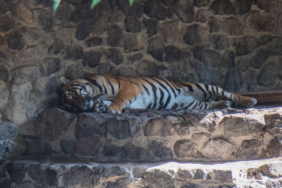 Тигр уже знает, как будет выглядеть обновленный зоопарк