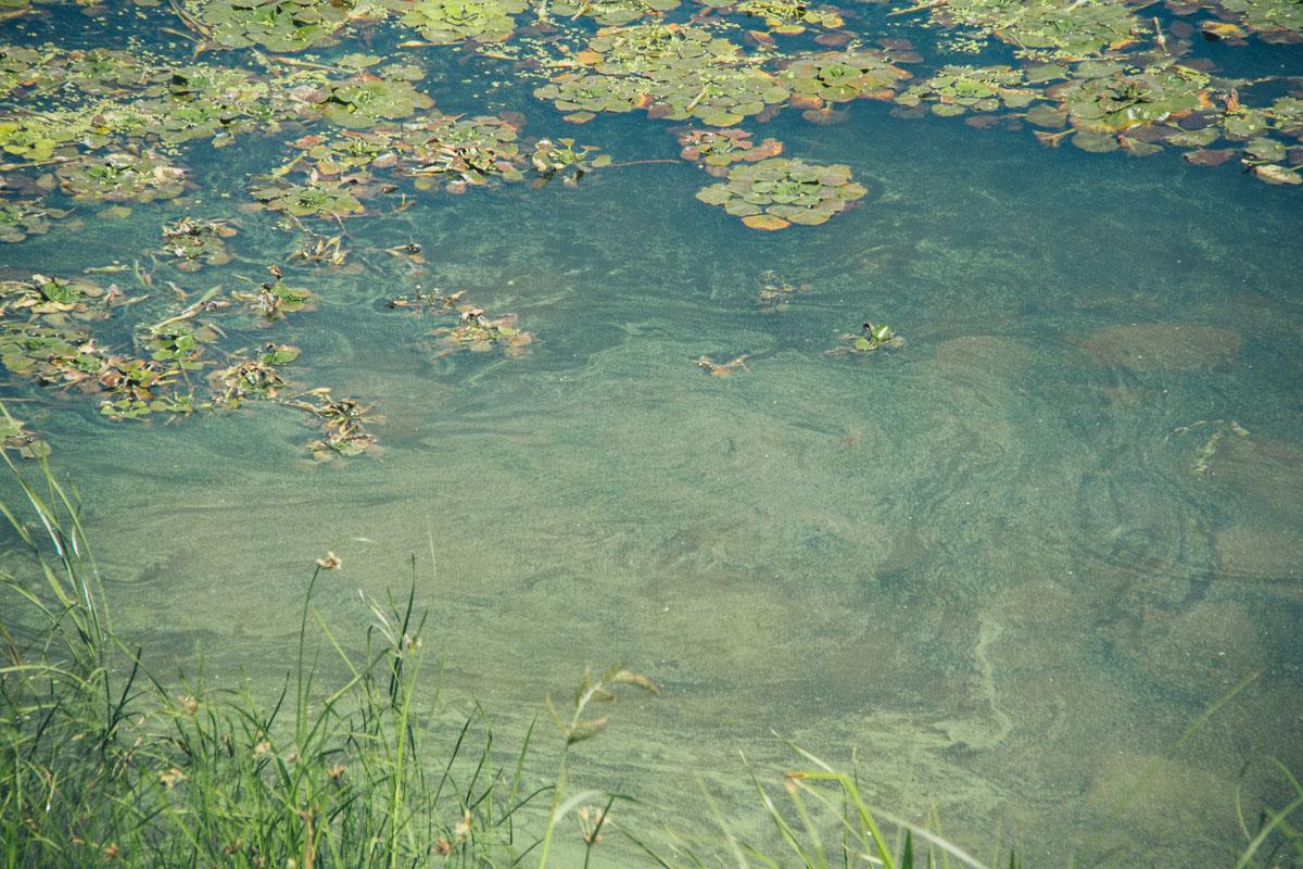 Мертвые водоросли образуют на воде зеленую пленку