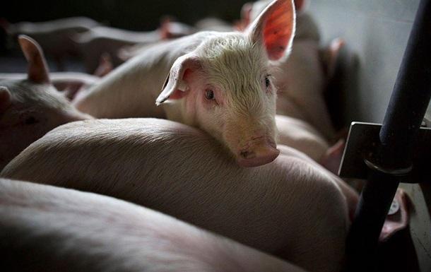 В Украине зафиксировали случаи африканской чумы у свиней