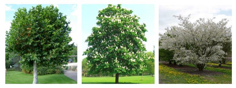 Такие деревья могут появится на Крещатике: платан, каштан, вишня птичья