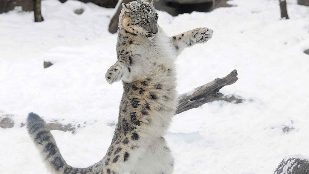 В Британии убили сбежавшего из вольера снежного барса