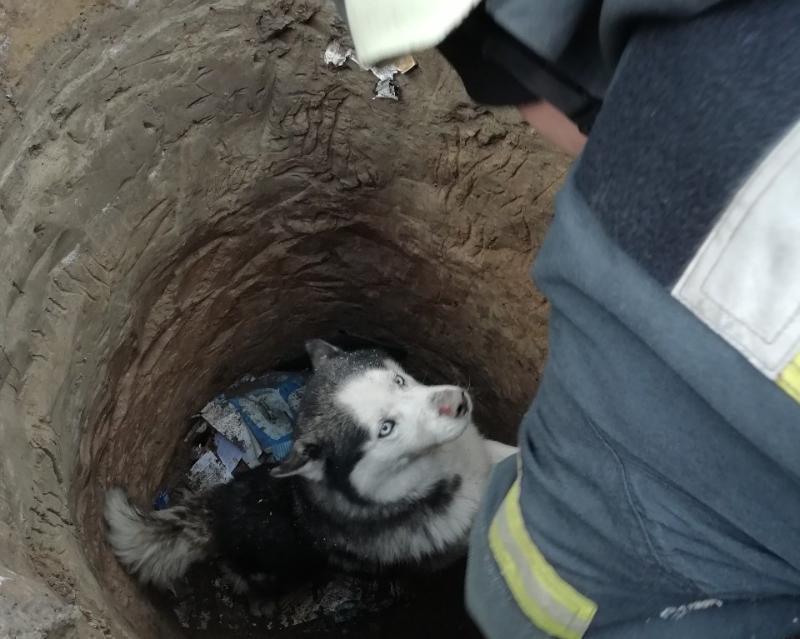 Хаски упал в канализационную яму в городе Боярка и не мог выбраться