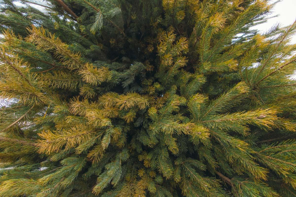 Здесь елка из натуральных веток сосны