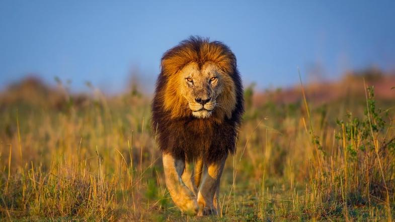 В США лев в зоопарке растерзал 22-летнюю девушку