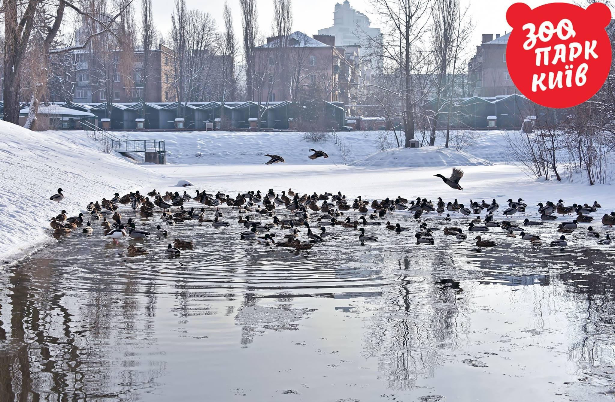 В водоеме плавают важные утки