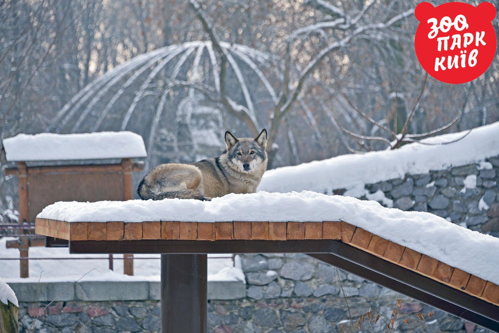 Серьезный волк наслаждается спокойствием