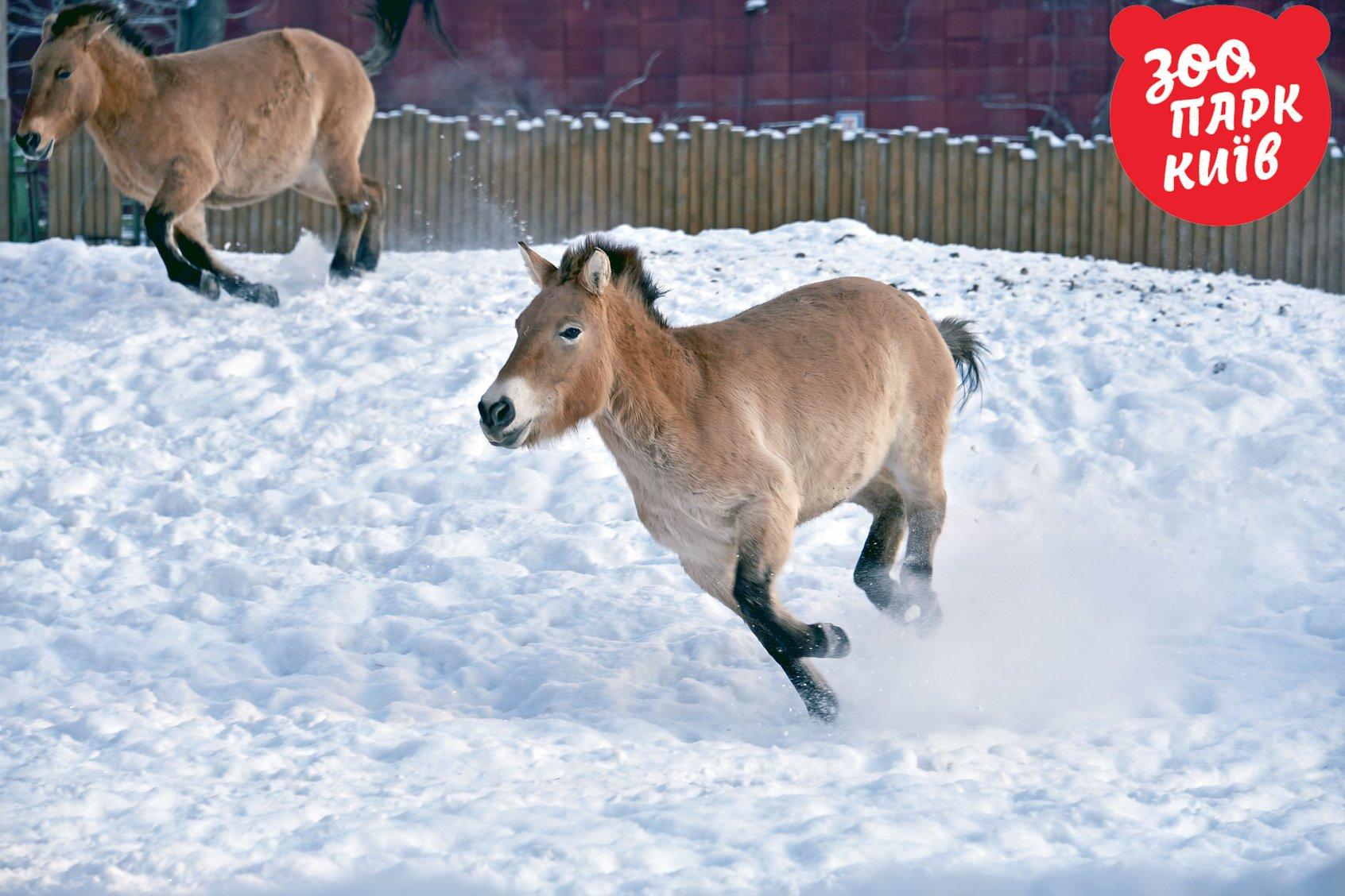 Милые пони устраивают гонки в снегу