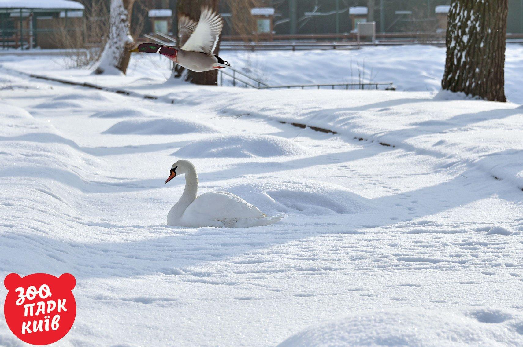 """Утка пикирует над лебедем, а ему """"хоть бы хны"""""""