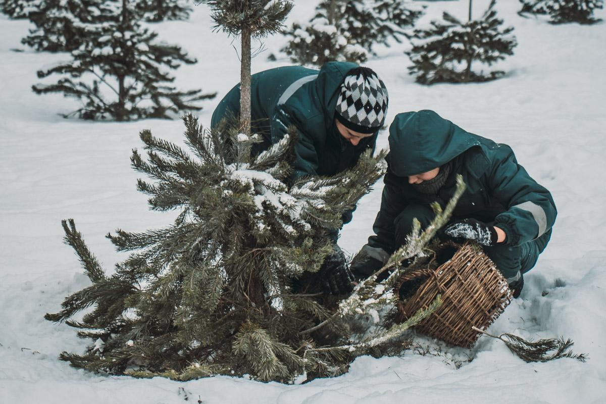 Измельченные деревья будут питать минеральными веществами городские елки