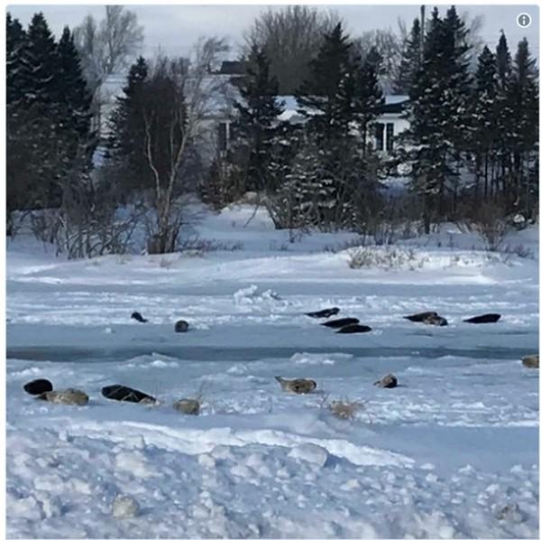 Тюлени устроили настоящее нашествие на небольшой канадский городок