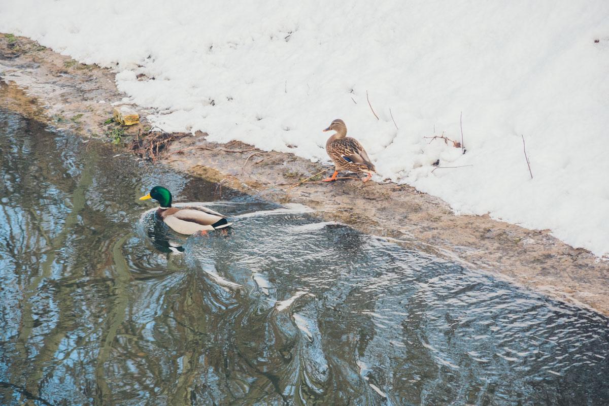 По заливу, вдоль которого расположится парк, плавают дикие утки