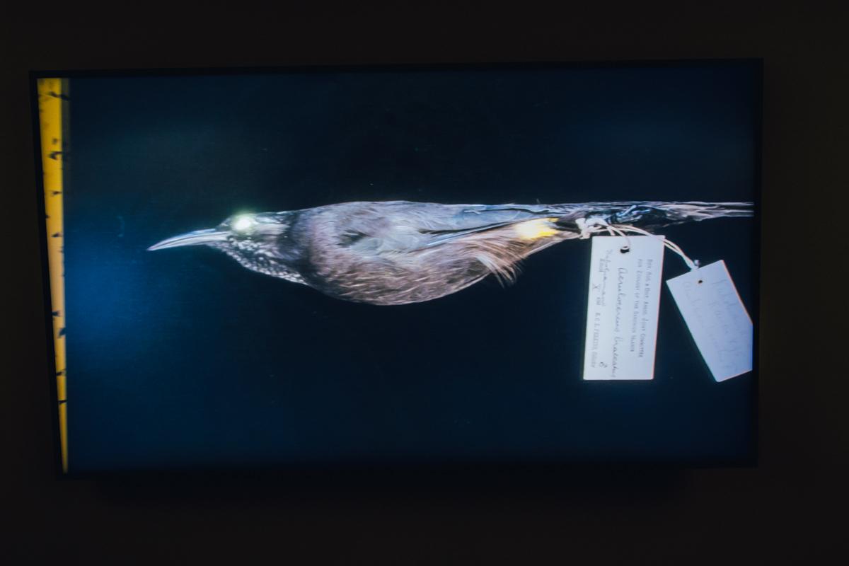 Якоб Кудск Стеенсен воссоздал среду обитания вымерших птиц