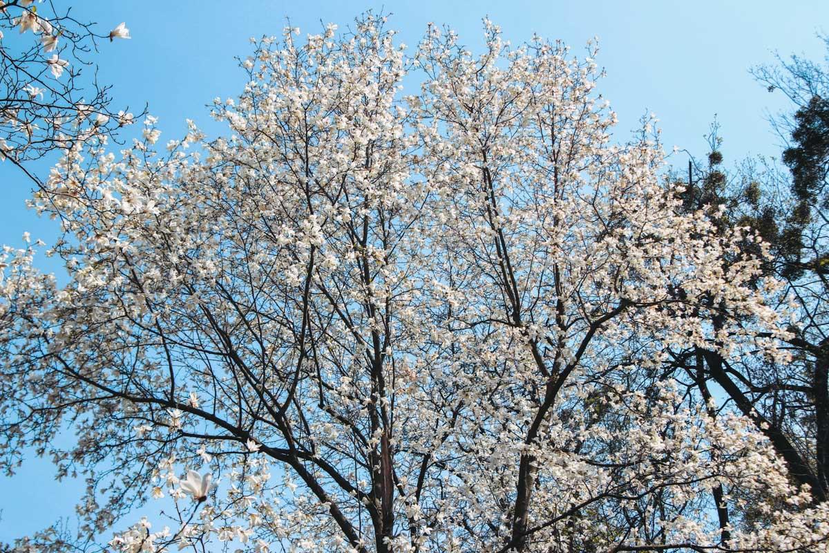Белые магнолии распустились еще вначале апреля