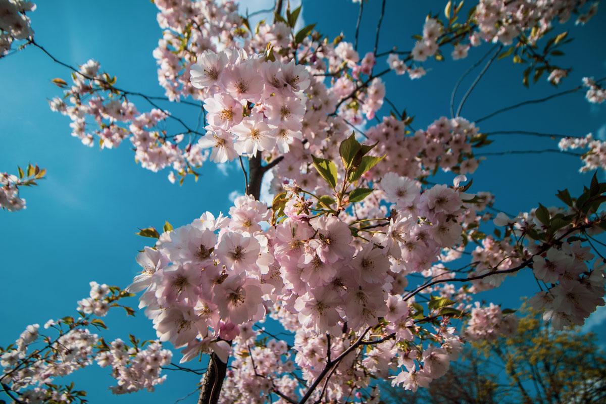 В Киеве наступила настоящая весна - в парке Киото расцвела сакура