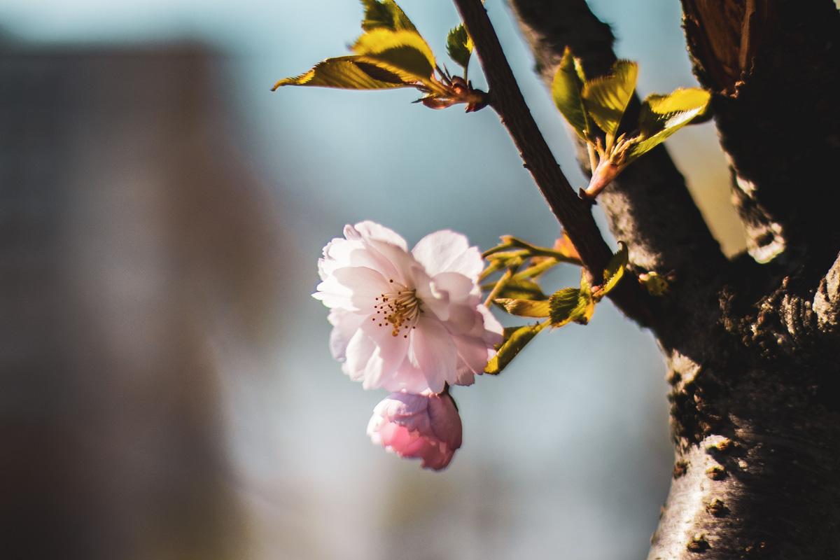 Цветение сакуры - это спонсор смены обоев для вашего рабочего стола