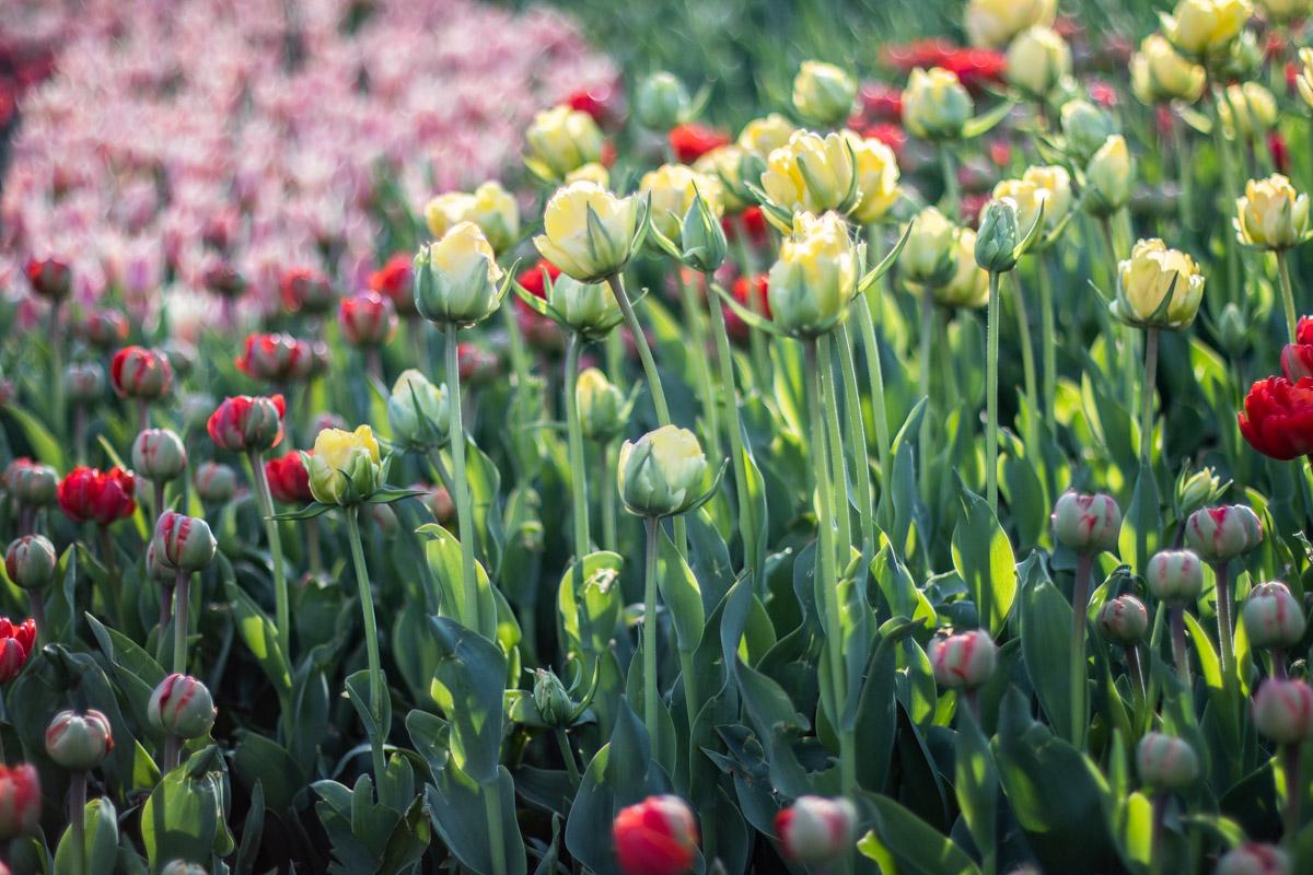В Киеве на Певческом поле открылась масштабная выставка цветов