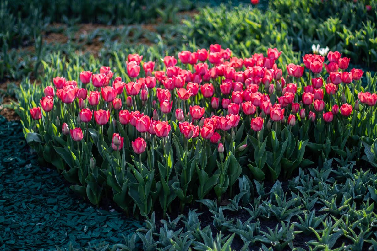 """Организатор выставки КО """"Киевзеленстрой"""" в приоритете решил высадить композиции из тюльпанов"""