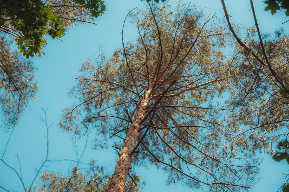 Лиственный лес смешивается с сосновым