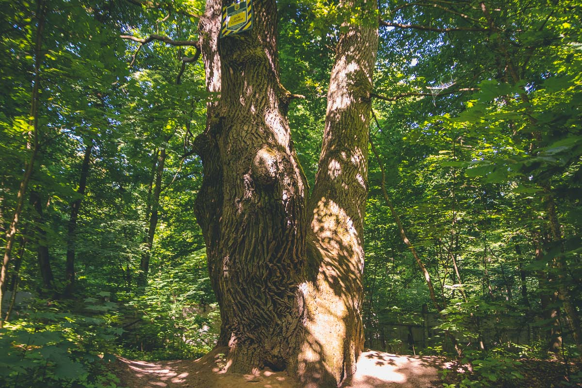 Этот великан - самый большой дуб в лесу