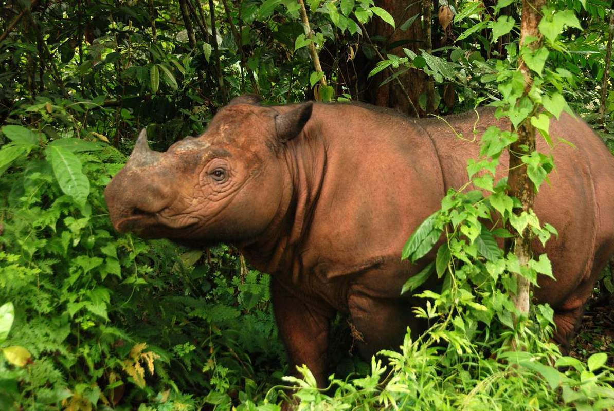 Вскоре этот вид носорогов может полностью вымереть