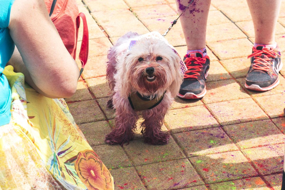 Кто-то взял с собой на фестиваль свою белую собачку, которая благодаря краскам холи превратилась в панка с розовым ирокезом