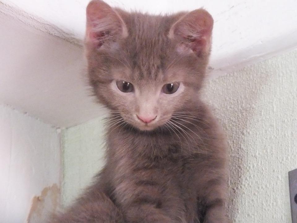 Настоящий лиловый котенок мечтает топать по вашему дому