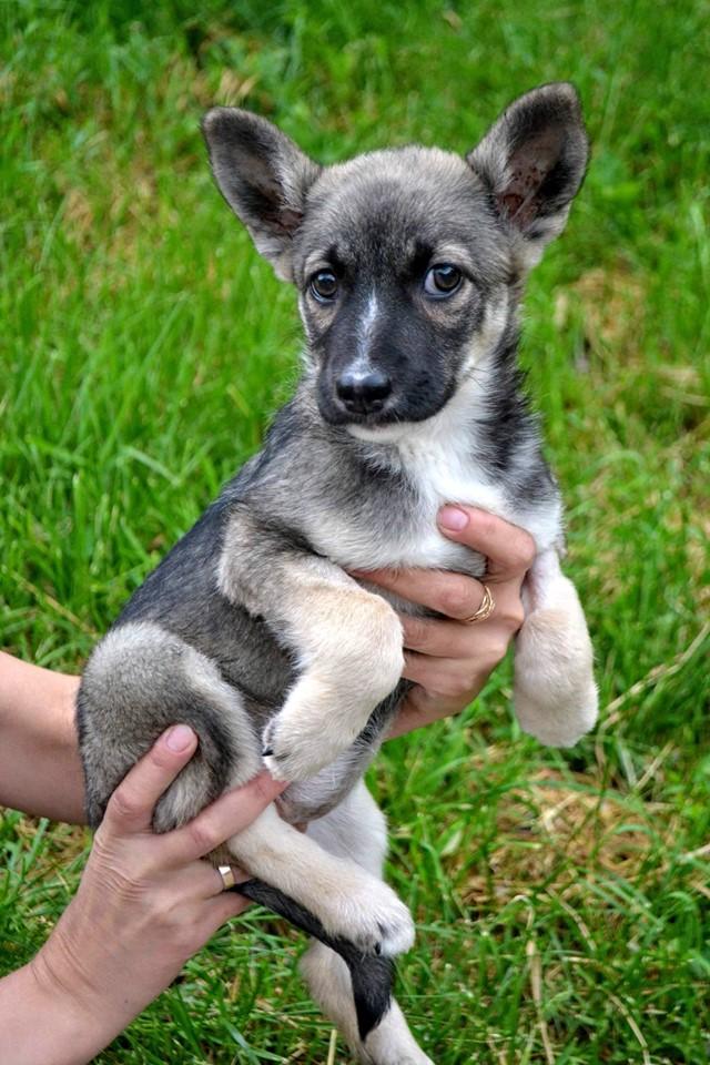 Мини-волчонок Вики обладает невероятно добрым характером и глазами