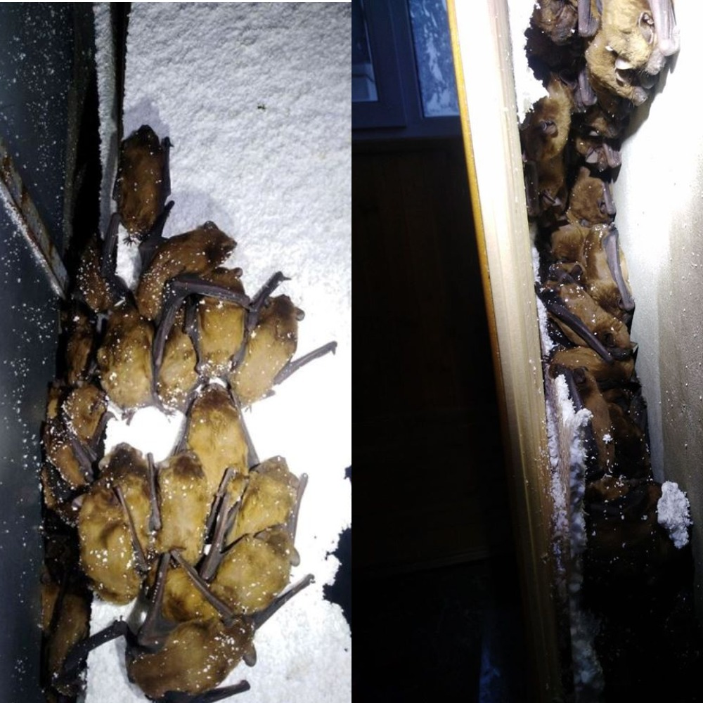 Целая колония мышек выбрала для себя неудачное место для спячки